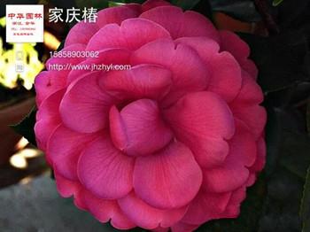 茶花品种:嘉庆椿