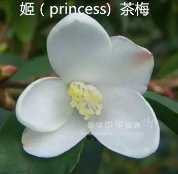 茶花品种-姬(princess) 茶梅