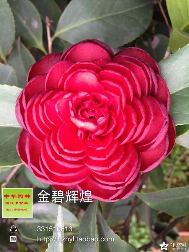 茶花品种-金碧辉煌 -黑六角 -黑赤丹