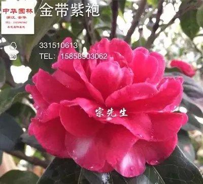 茶花品种-金带紫袍