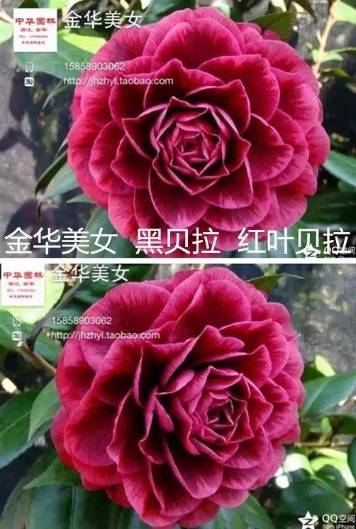 茶花品种-金华美女-黑贝拉