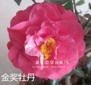 茶花-金奖牡丹