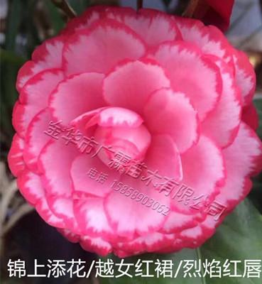 茶花品种:锦上添花/越女红裙/烈焰红唇