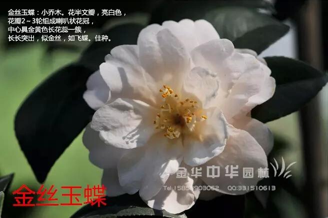茶花品种-金丝玉蝶