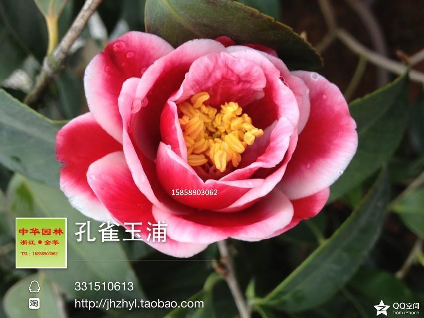 茶花品种-孔雀玉浦 -孔雀
