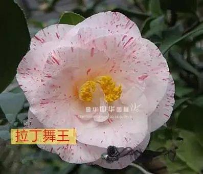 茶花品种:拉丁舞王/红绒贝蒂