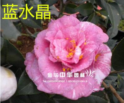 茶花新品种:蓝水晶