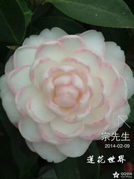 茶花-莲花世界