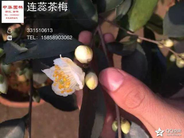 茶花品种-连蕊茶梅-野茶梅