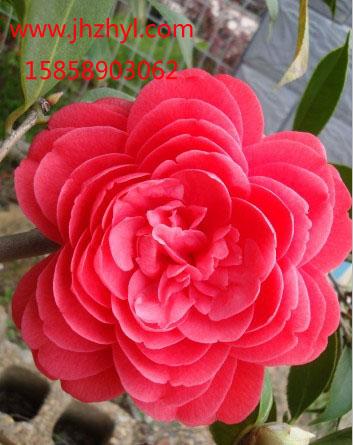 茶花-六角大红