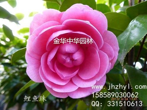 茶花品种—鲤鱼珠