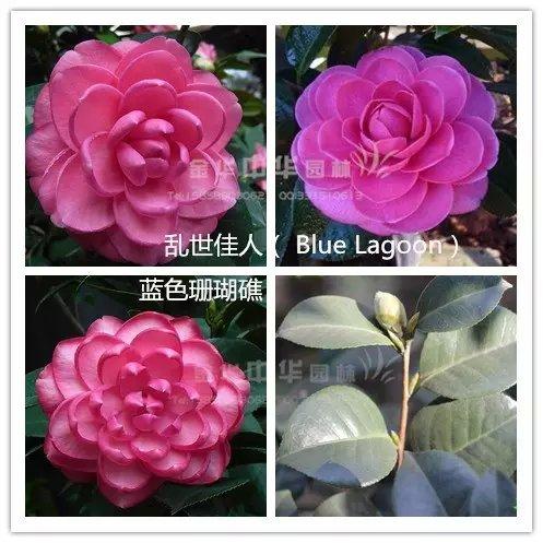茶花品种-乱世佳人-Blue Lagoon-蓝色珊瑚礁