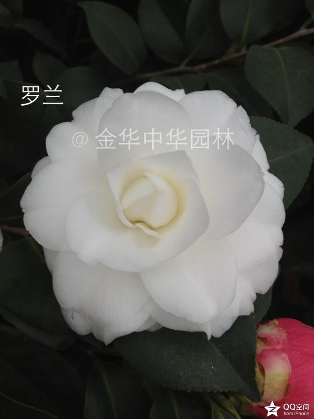 白色茶花品种-罗兰