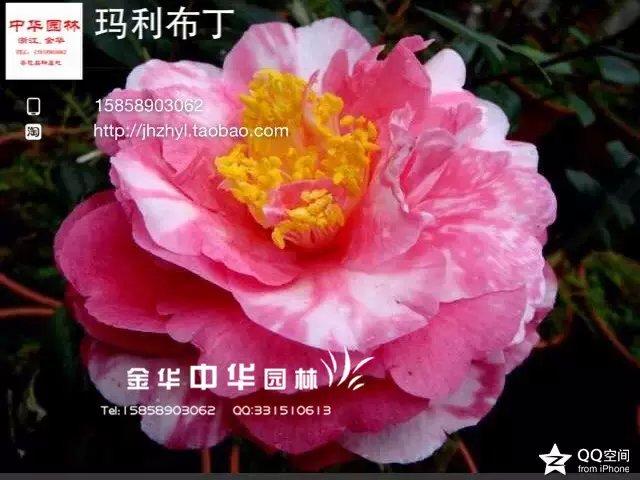 茶花品种-玛丽布丁-达婷(斑)