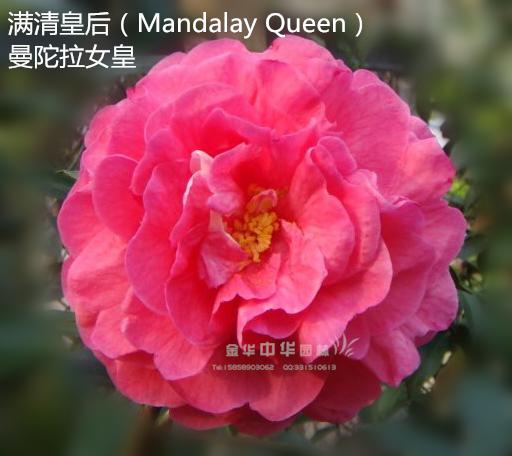 茶花品种-满清皇后-Mandalay Queen-曼陀拉女皇