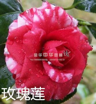 茶花-玫瑰莲