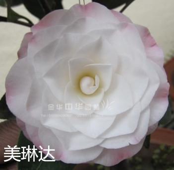 茶花-美琳达