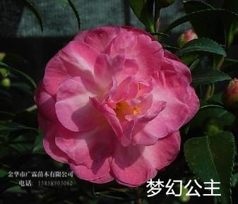 茶梅品种:梦幻公主  (Paradise Sayaka)别名:天堂莎雅卡