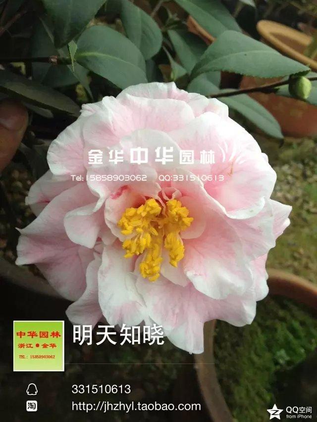茶花品种—明天知晓