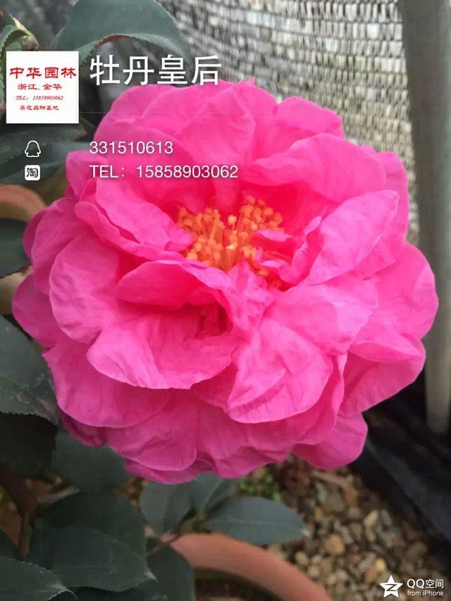 茶花品种-牡丹皇后