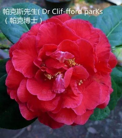 茶花品种-帕克斯先生-Dr Clif-fford parKs