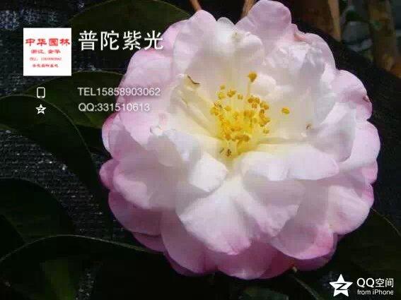茶花品种-普陀紫光-云南品种