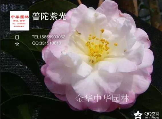 茶花品种—普陀紫光