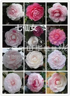 茶花品种-七仙女