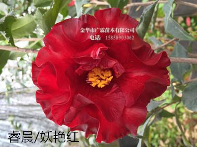 茶花品种:睿晨/妖艳红