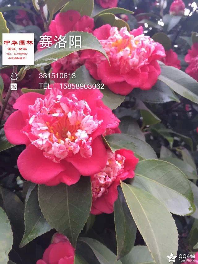 茶花品种-赛洛阳
