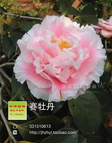 茶花品种-赛牡丹 -Elegans Splendor