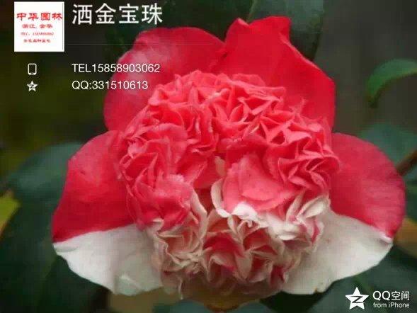 茶花品种-洒金宝珠-西神宝珠