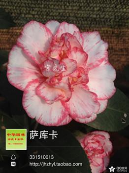 茶花品种-萨库卡