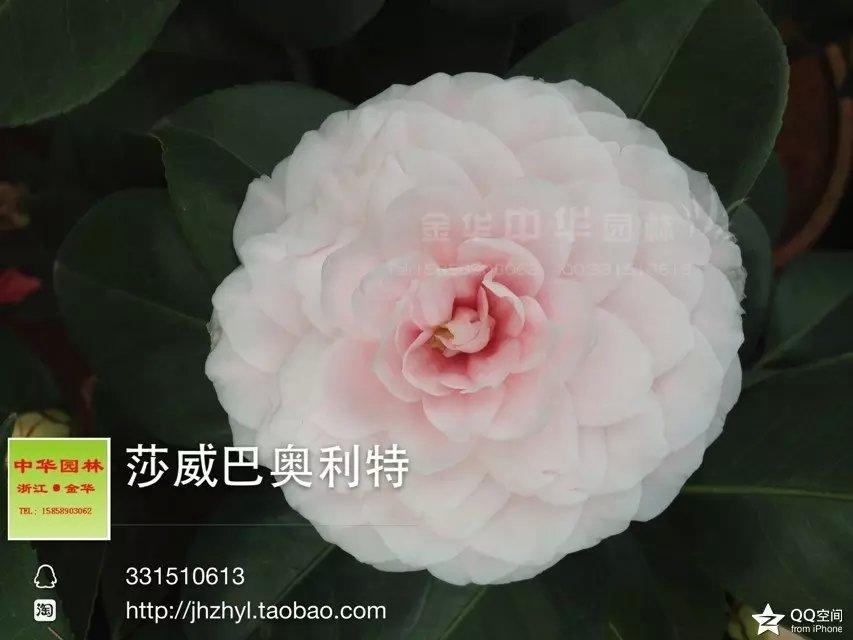 茶花品种-沙威巴奥力特Souvenir de Bahuaud-Litou