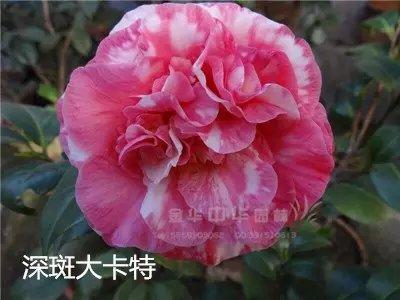 茶花品种-深斑大卡特