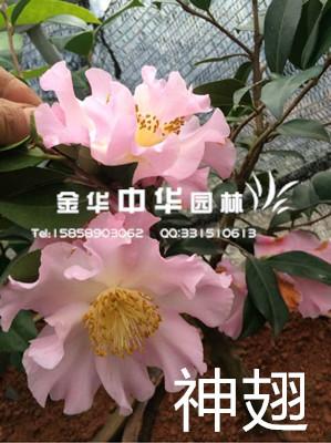 茶花-神翅