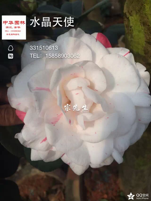 茶花品种-水晶天使