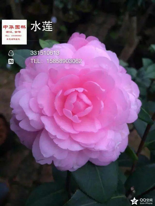茶花品种-水莲-Water Lily-水百合