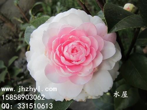 茶花品种-水屋(斑)白斑沃特豪斯