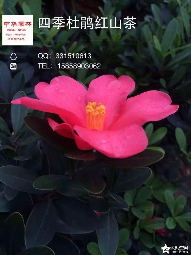 茶花品种-四季杜鹃红山茶-张氏红山茶-杜鹃红山茶-杜鹃茶