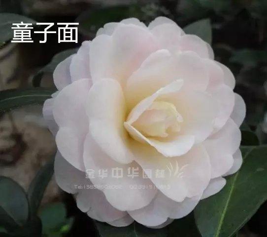 茶花品种-童子面-银红菊瓣