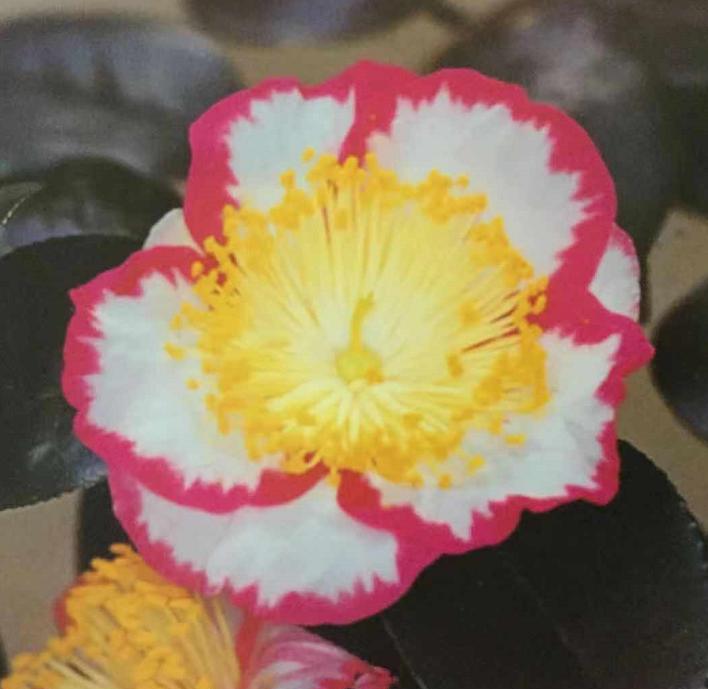 茶花-王冠
