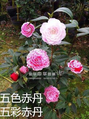 多色茶花-五色赤丹/五彩赤丹