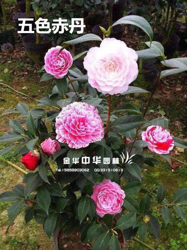 茶花品种-五色赤丹