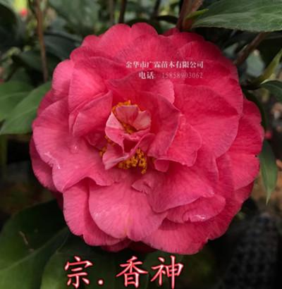 茶花品种-香神