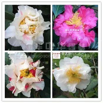 茶花品种-香太阳-Scented Sun-哈姆斯夫人-Mrs Bertha A. Harms-赛拉伯-Salab-seedling L.B.F.634-美国加州肯哈里斯顿-Ken Hallstone