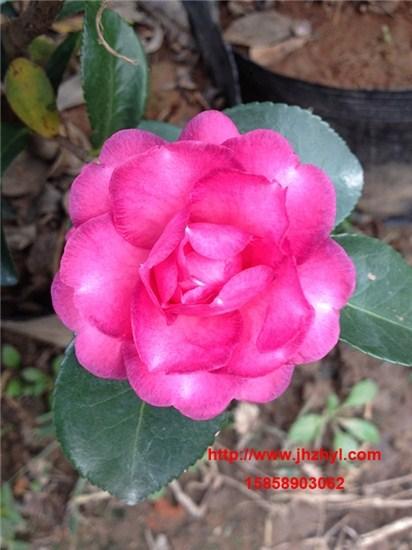 茶梅品种-小玫瑰
