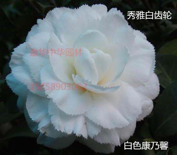 茶花品种-秀雅白齿轮-白锯齿-白色康乃馨-