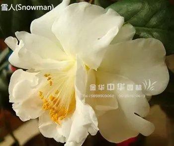 茶花品种-雪人