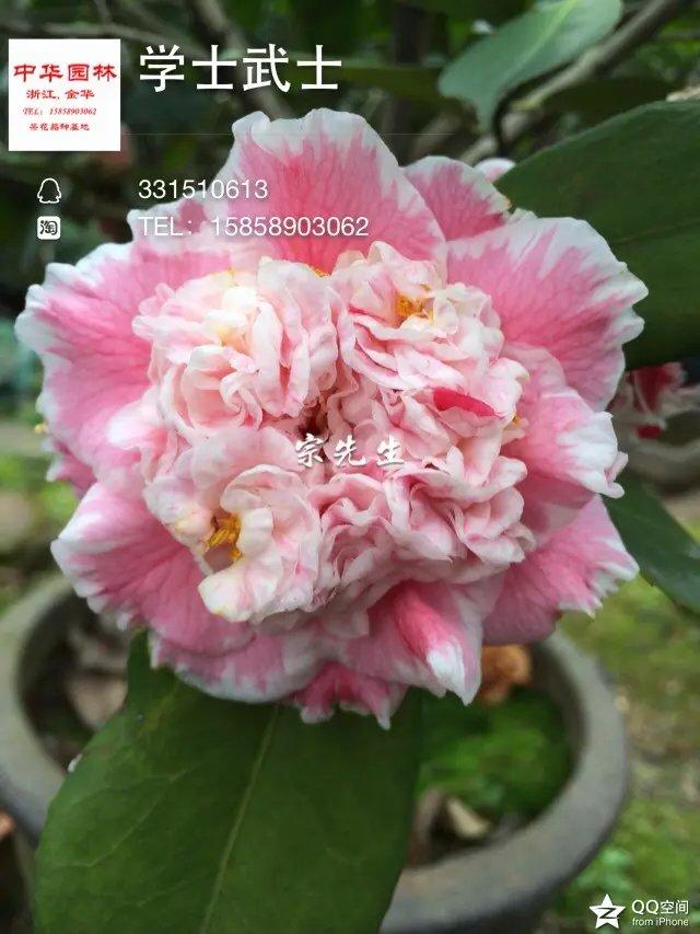 http://www.jhzhyl.com/uploads/image/chahua/xueshiwushi.jpg